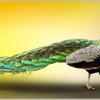 Peacock in Hindi । मोर मोरनी के बारे में 23 रोचक तथ्य