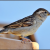 Sparrow in Hindi । गौरैया चिड़िया के बारे में 21 रोचक तथ्य