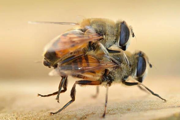 मधुमक्खियों
