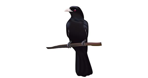 cuckoo in hindi
